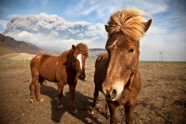 Gallery-Eyjafjallajokull-horses-during-eruption-01