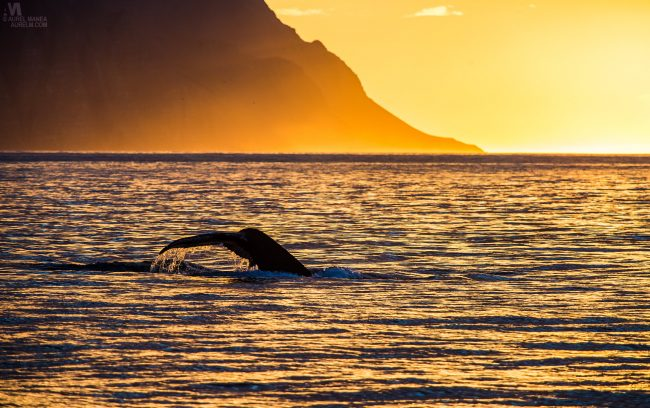 Gallery-Iceland-Eyjafjordur-humpback-whales-sunset-02