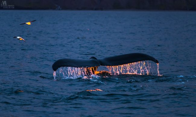 Gallery-Iceland-Eyjafjordur-humpback-whales-sunset-10