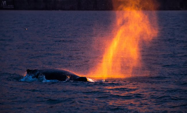 Gallery-Iceland-Eyjafjordur-humpback-whales-sunset-12