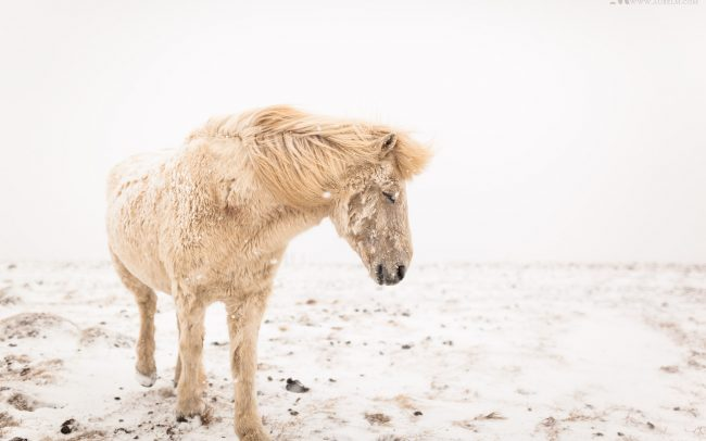 Gallery-Iceland-horses-in-the-snow-05