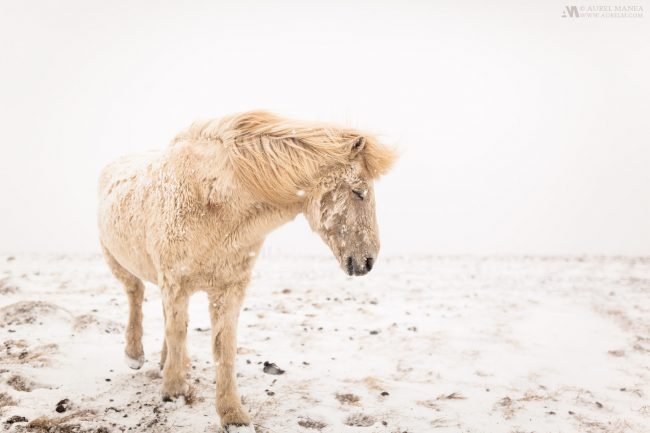 An Icelandic horse endures the first snow of the year with stoicism
