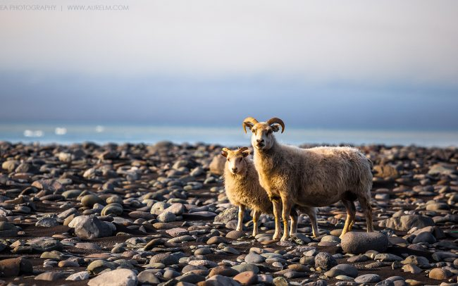 Gallery-Iceland-sheep-01