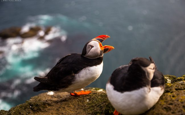 Gallery-Westfjords-puffins-in-Iceland-04