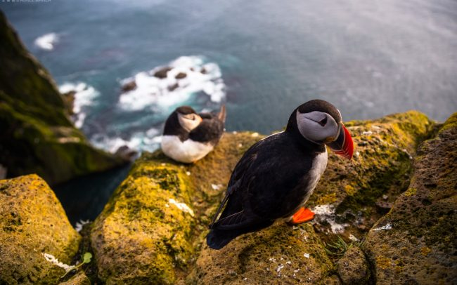Gallery-Westfjords-puffins-in-Iceland-05