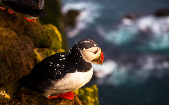 Gallery-Westfjords-puffins-in-Iceland-08