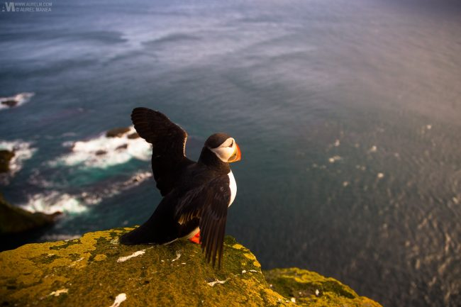 Gallery-Westfjords-puffins-in-Iceland-10