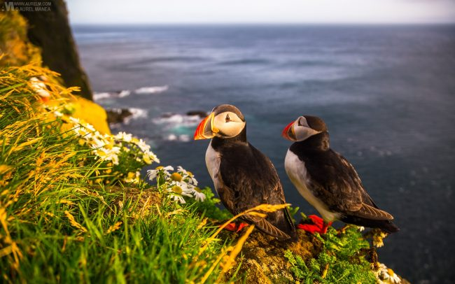 Gallery-Westfjords-puffins-in-Iceland-12