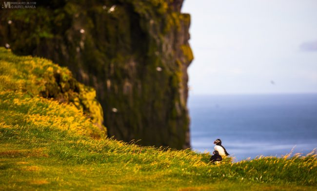 Gallery-Westfjords-puffins-in-Iceland-13