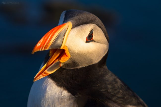 Gallery-Westfjords-puffins-in-Iceland-14