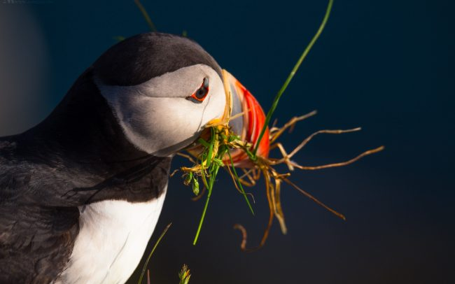 Gallery-Westfjords-puffins-in-Iceland-17