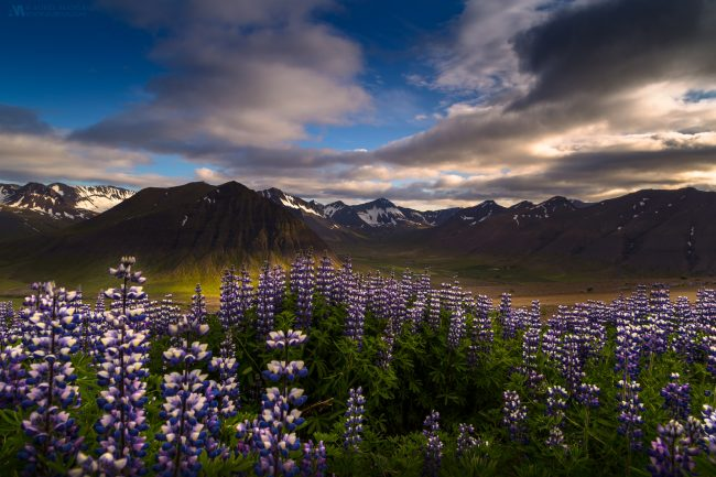 Galllery-Iceland-mountains-of-flowers