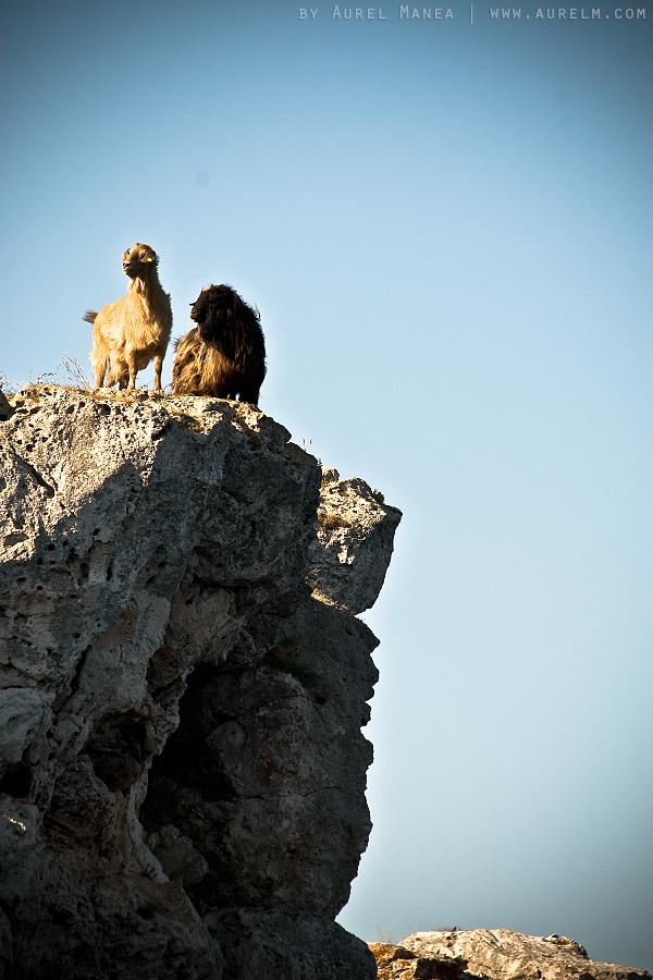 Tyulenovo-goats