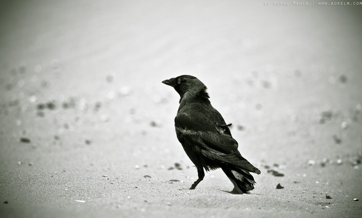 crow on beach